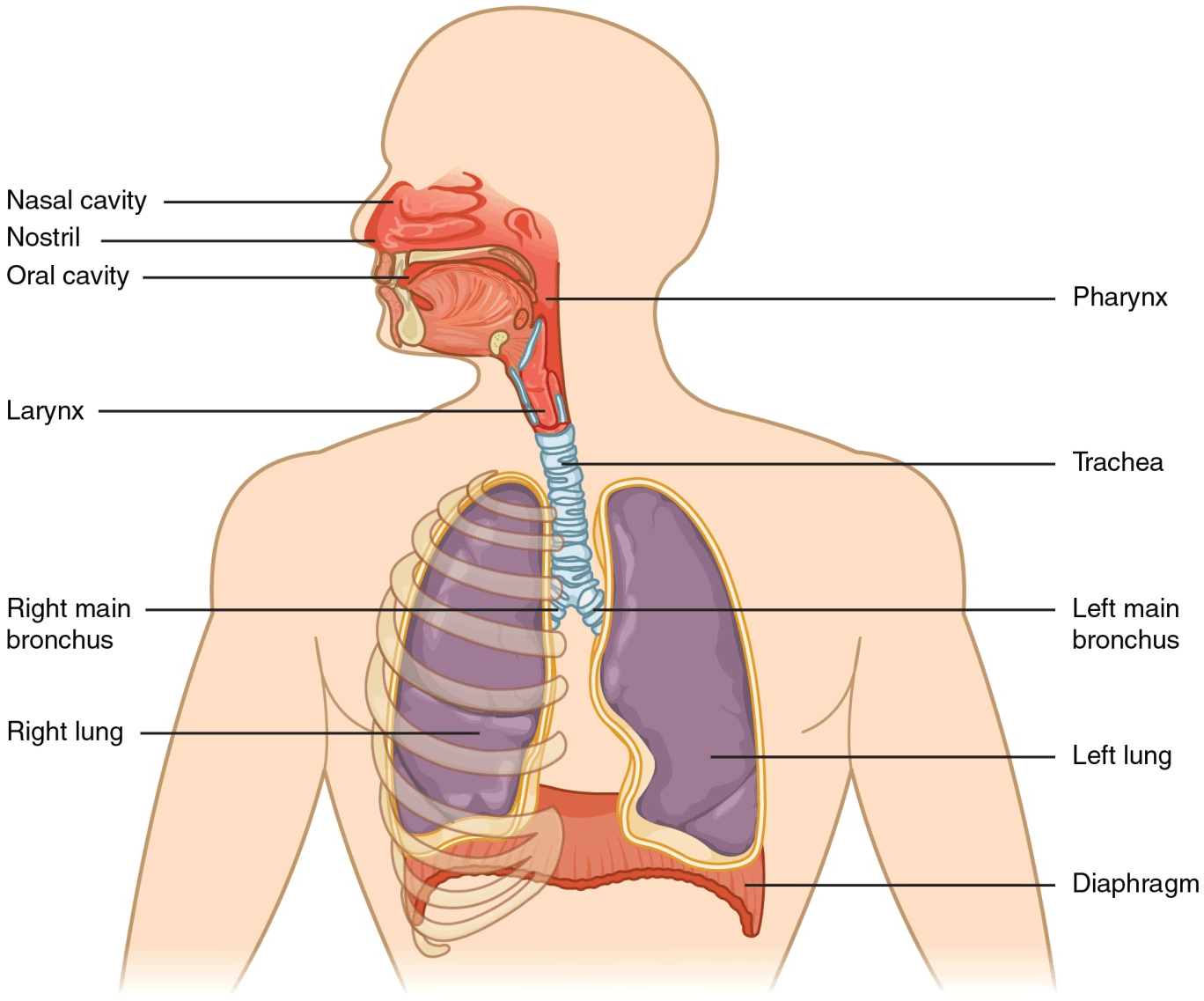 Image of the respiratory system in human