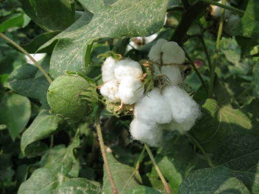 Picture of a cotton plant grown in black soil.