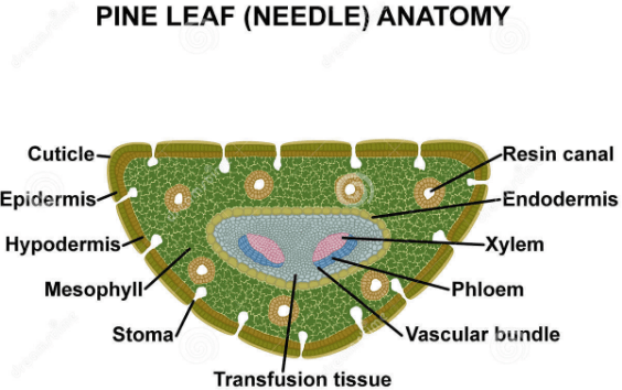 Image showing Pine needle anatomy.