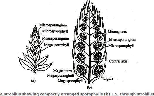 Knowing theLS of strobilus of Selaginella