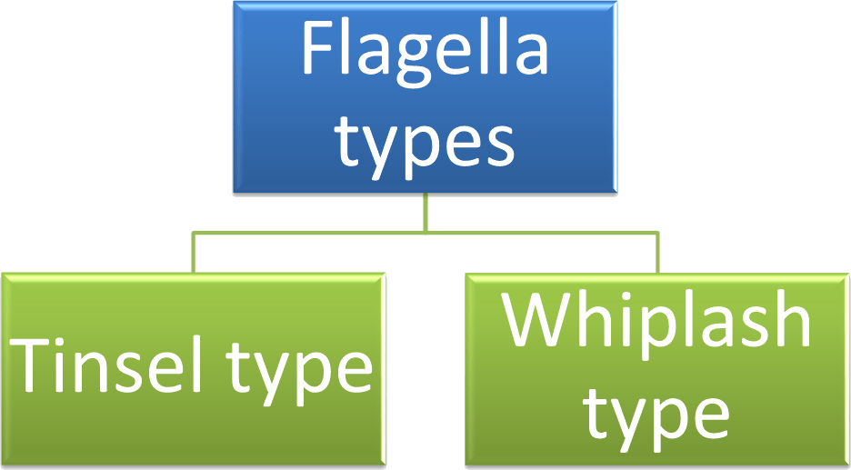 Image showing flagella types.