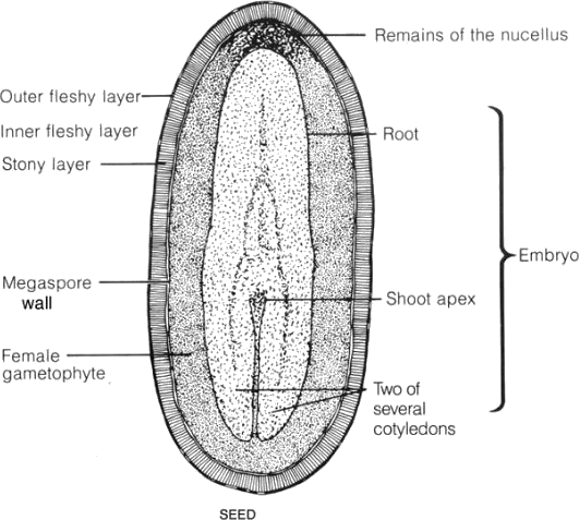 Image showing Pinus seed L.S.