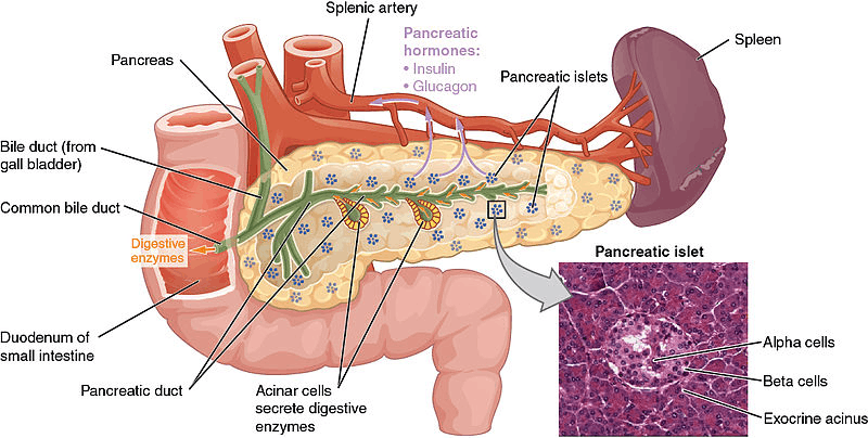 Image of The Endocrine Portion of Pancreas