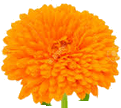 This image shown marigold flower