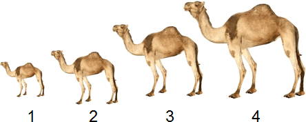 This diagram show number of camels