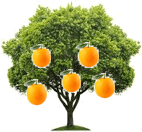 This figure shows orange tree – Choice C