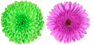 This figure shows the pair of two flowers – Choice C