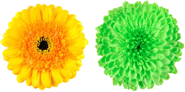 This figure shows the pair of two flowers – Choice D