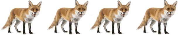 This image shows the 4 foxes in jungle