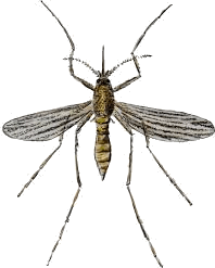 This image shows the mosquito