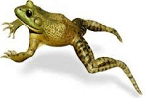 This image shows the frog