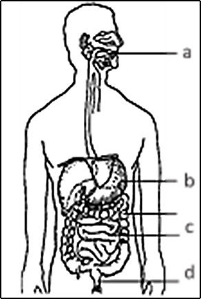 Image shows The Digestive System