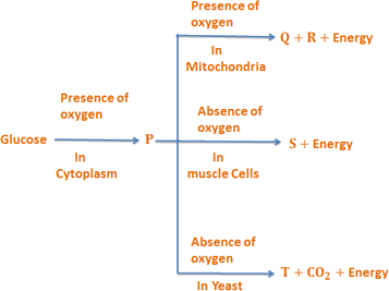Flowchart of the pathways of glucose breakdown