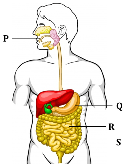 The figure shows the human digestive system parts