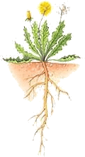 Plants have tap root or fibrous root – Choice C