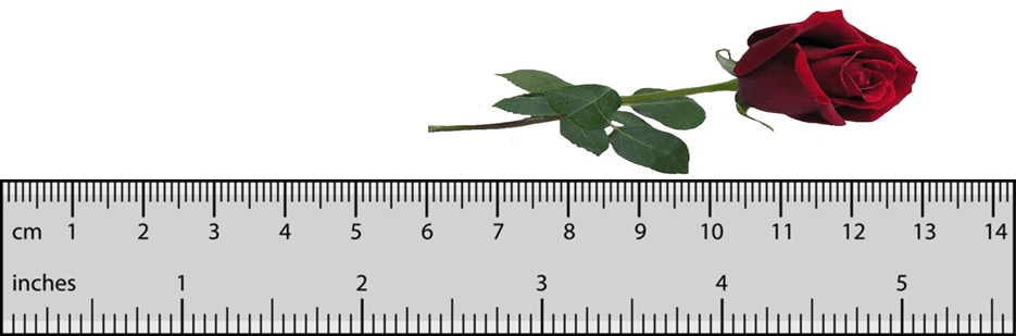 Image shows the length of the flower