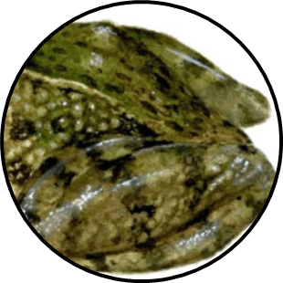 Image shows the skin of an amphibian animal – Choice D