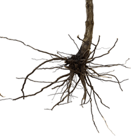 Figure show roots of some plants – Choice B