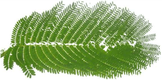 Image shows leaves of a particular tree