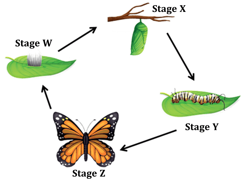 Figure shows the life cycle of a butterfly