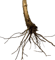 Figure show roots of some plants – Choice D