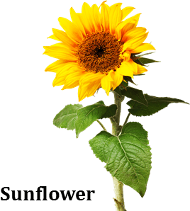 Image shows the sunflower