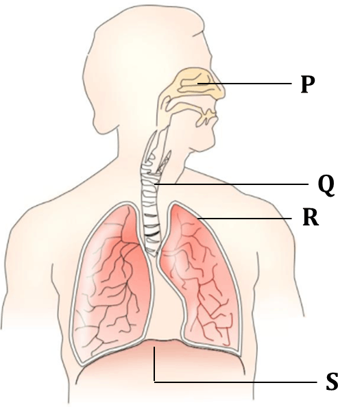 Figure shows respiratory system