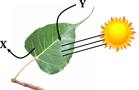 Figure shows the process of photosynthesis in a leaf