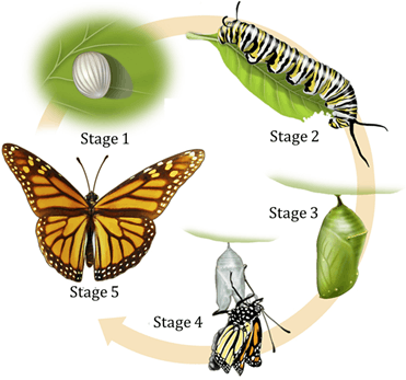 Figure shows life cycle of butterfly