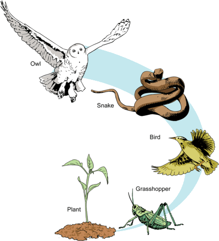 Food chain of owl