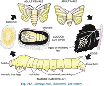 The life cycle of a silk moth