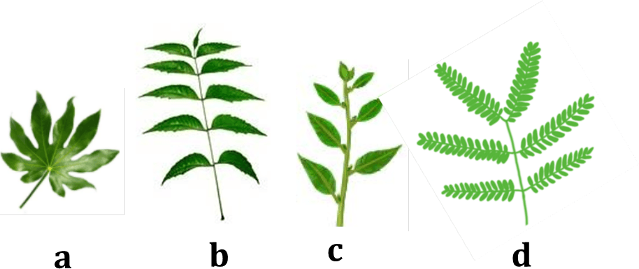 Image shows leaves may be simple or compound