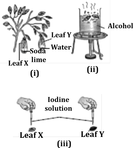 Image shows plant placed in the dark for to destarch its leaves