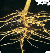 Figure shows a tap root system