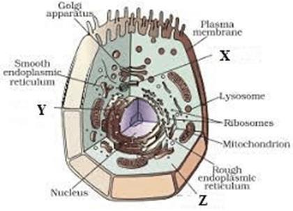 Image of the animal cell