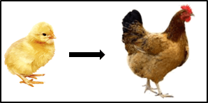 This figure shown the hen and chicken