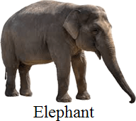 This image shows the largest land animal or not – Choice C