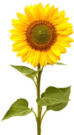 This image shows that the plant of sunflower