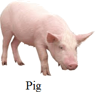 This image of animal is pig Choice A