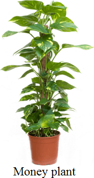 This plant shows money plant choice C