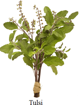 Hear shows this image of tulsi choice A