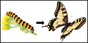 This figure shown the butterfly and caterpillar