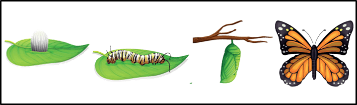This figure shows the life cycle of butterfly