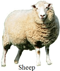 This image shows the animal of sheep