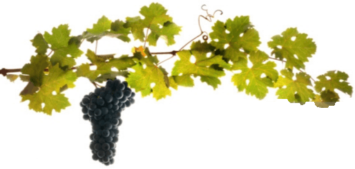 This image shows that the vine of fruit