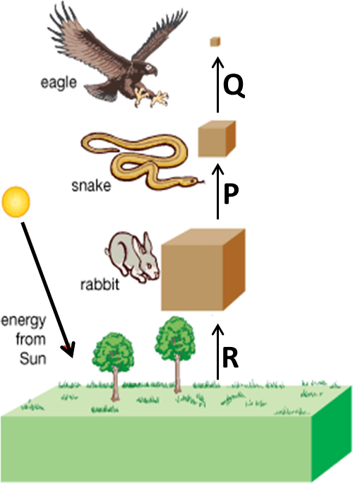 Image showing Energy flow in food chain.