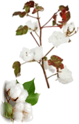 The image is cotton plant