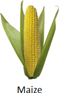 The picture of maize – What is it?