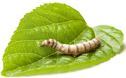 The image of silkworm