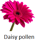 The picture of daisy pollen – What is it?